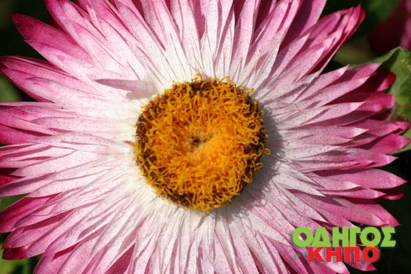 Αποξηραμένα λουλούδια