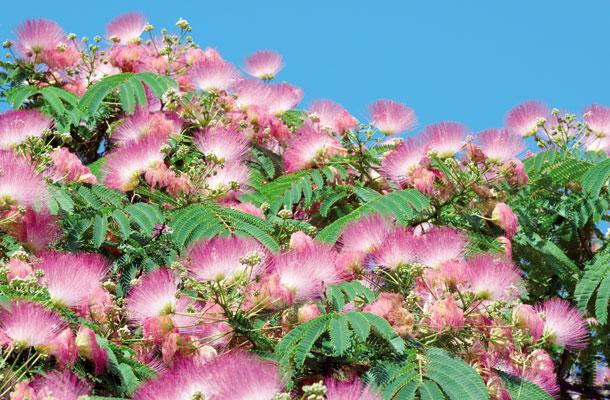 Albizzia-julibrissim-Fabaceae
