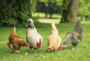 Γιατί οι καταναλωτές να προτιμούν βιολογικά κοτόπουλα;