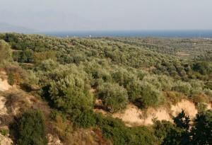 Ελιά - Olea europaea, Oleacea