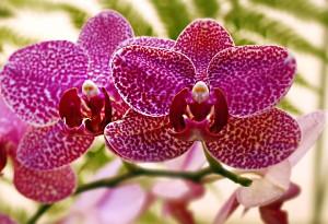 Οι ορχιδέες στη διακόσμηση: σε γλάστρα ή κομμένο λουλούδι