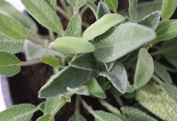 Φασκόμηλο ή Αλιφασκιά - Salvia officinalis, Labiatae