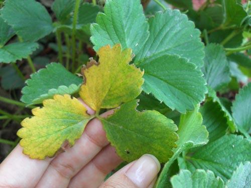 Κίτρινα φύλλα φράουλας