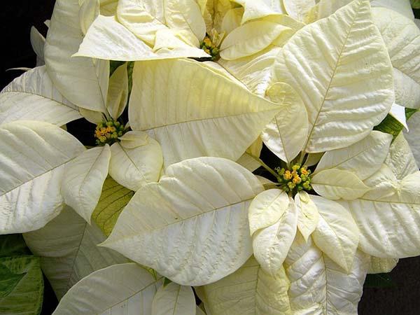 Ποϊνσέττια με λευκά άνθη