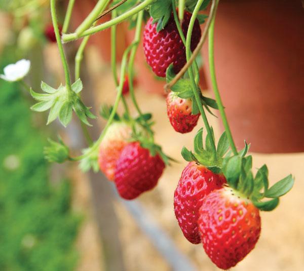 φράουλα στο μπαλκόνι
