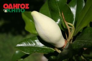 Μαγνολια - Magnolia