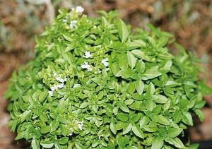 βασιλικός - αρωματικά φυτά