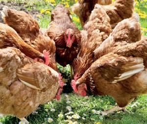 βιολογική πτηνοτροφία