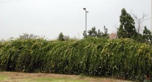 φυτά για φράχτες