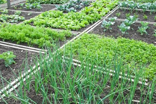 Κρεμμύδι στο λαχανόκηπο