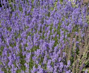 Λεβάντα - αρωματικά φυτά