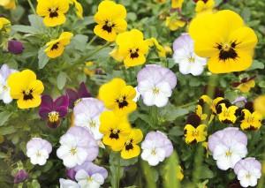 Πανσές, Viola tricolor, Violaceae