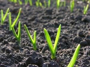 Μικρά φυτάρια σκόρδου, στο λαχανόκηπο