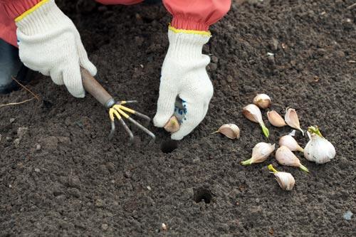 Φύτευση βολβών σκόρδου