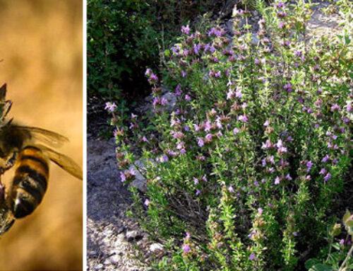 Θρούμπι, αρωματικό φυτό με ξεχωριστό άρωμα