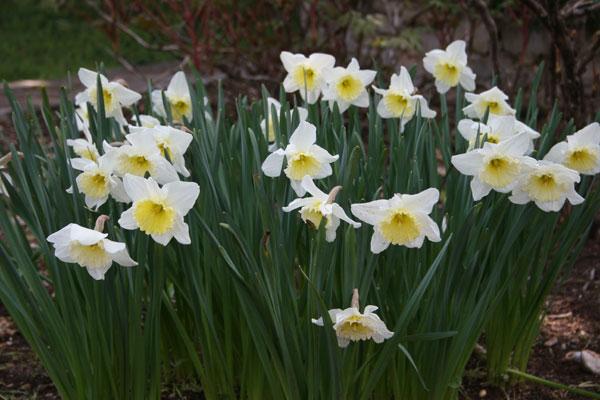 Νάρκισσος (Narcissus spp. , Amaryllidaceae)