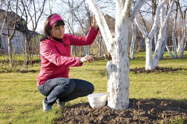 ασβέστωμα δένδρων