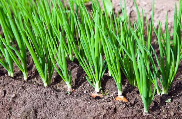 Κρεμμύδι, συμβουλές για φύτευση και καλλιέργεια