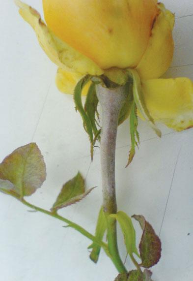 Ωΐδιο τριανταφυλλιάς