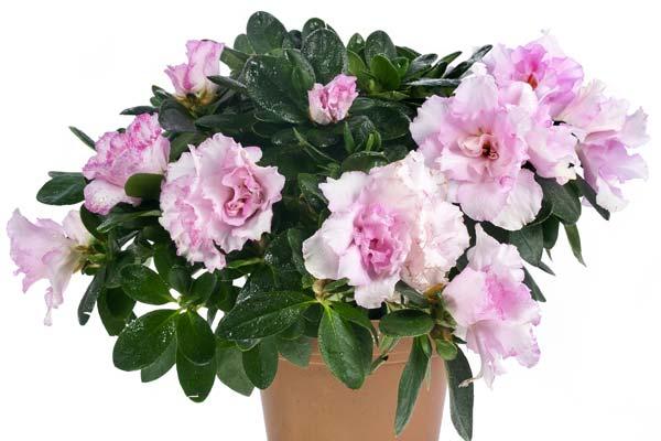 Αζαλέα - Rhododendron sp , Ericaceae