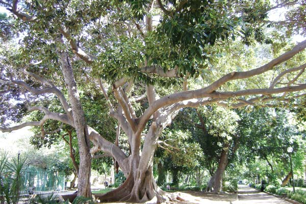 Ελαστικοφόρος φίκος, Ficus elastica