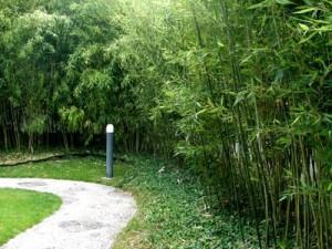 Φυτά για φράχτες: μπαμπού