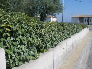Φυτά για φράχτες: Ελαίαγνος