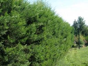 Φυτά για φράχτες: λέλιαντ