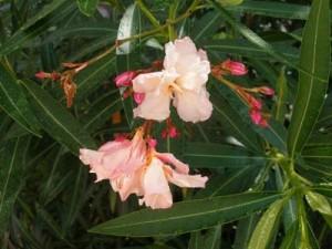 Φυτά για φράχτες: πικροδάφνη