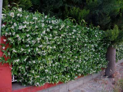 Φυτά για φράχτες: ρυγχόσπερμο