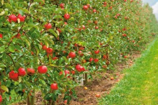 Μηλοειδή: μηλιά, αχλαδιά και κυδωνιά