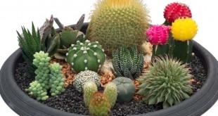 παχύφυτα και κάκτοι: Η χρήση τους στον κήπο