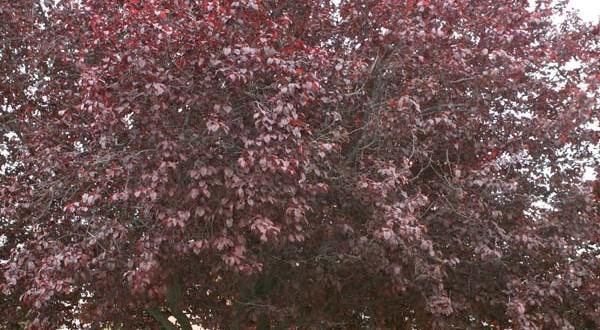 """Καλλωπιστική Δαμασκηνιά, Prunus cerasifera """"Pissardii"""", Rosaceae"""
