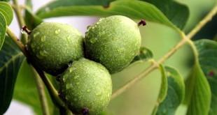 Καρυδιά (Juglans regia, Juglandaceae)