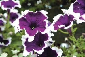 Πετούνια Petunia hybrida, Solanaceae