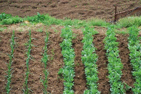 Συγκαλλιέργεια στον αγρό και τον κήπο