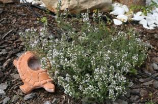 Θυμάρι ή θύμος (Τhymus vulgaris)