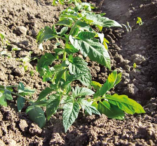 Καλλιέργεια της Τομάτας (Lycopersicon esculentum).