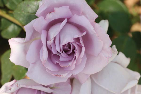 Τριανταφυλλιά, η βασίλισσα του κήπου