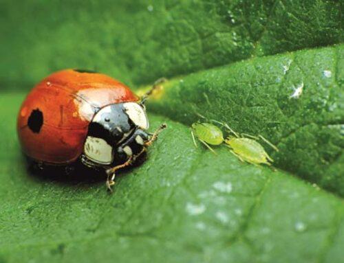 Βιολογικές παγίδες για έντομα