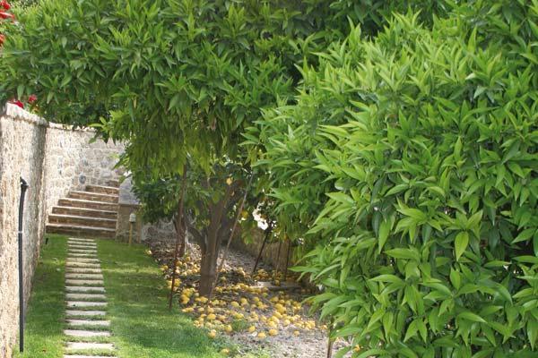 Εσπεριδοειδή στον κήπο
