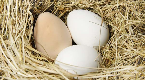 Τα κοτόπουλα και τα αυγά ελευθέρας βοσκής είναι βιολογικά;