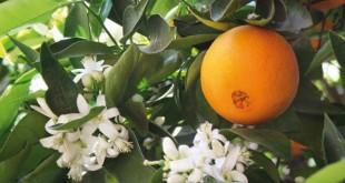 ποικιλίες πορτοκαλίας