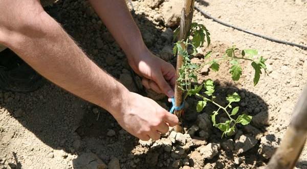 Κορυφολόγημα και αποφύλλωση για τις τομάτες