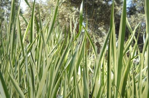 Acorus-calamus-variegatus