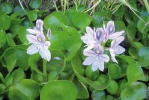 Eichornia-crassipes-azola