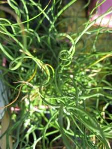 Juncus-effusus-spiralis