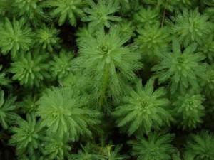 Myriophyllum-aquaticum