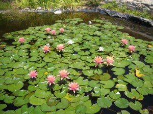 Nymphaea-species