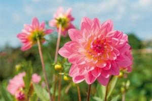 ντάλιες ποικιλίες, φροντίδες, πολλαπλασιασμός